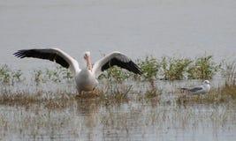 Pelicano no lago com asas para fora imagem de stock royalty free