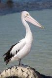 Pelicano no litoral imagens de stock royalty free