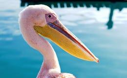 Pelicano no louro Imagens de Stock Royalty Free
