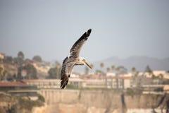 Pelicano no mid-air imagens de stock royalty free
