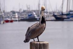 Pelicano no pilão Imagem de Stock Royalty Free