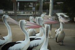 Pelicano no polo Fotografia de Stock Royalty Free