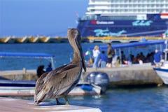 Pelicano no porto de Cozumel, México Foto de Stock