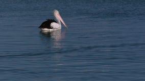 Pelicano no tiro do oceano filme