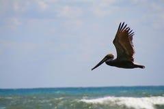 Pelicano no vôo Fotografia de Stock Royalty Free
