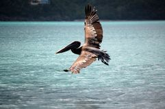 Pelicano no vôo Fotos de Stock Royalty Free