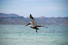 Pelicano no vôo Fotos de Stock