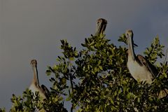 Pelicano nos marismas de Florida fotos de stock