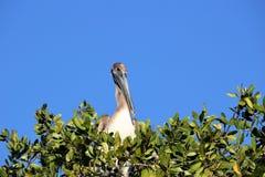 Pelicano nos marismas de Florida fotografia de stock royalty free