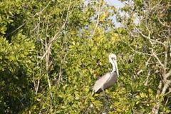 Pelicano nos marismas de Florida foto de stock