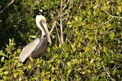 Pelicano nos marismas de Florida imagem de stock
