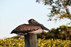 Pelicano nos marismas de Florida imagens de stock royalty free
