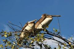 Pelicano nos marismas de Florida fotografia de stock