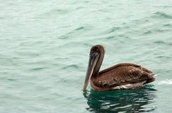 Pelicano nos marismas parque nacional, Florida imagem de stock royalty free