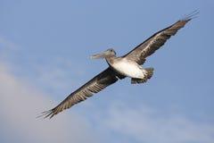 Pelicano novo de Brown fotos de stock royalty free