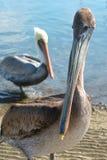 Pelicano o corajoso Fotografia de Stock Royalty Free