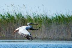 Pelicano Os pelicanos são um gênero de grandes pássaros de água que componha o Pelecanidae da família São caracterizados por um b fotografia de stock royalty free