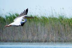 Pelicano Os pelicanos são um gênero de grandes pássaros de água que componha o Pelecanidae da família São caracterizados por um b imagem de stock royalty free
