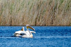 Pelicano Os pelicanos são um gênero de grandes pássaros de água que componha o Pelecanidae da família São caracterizados por um b fotos de stock royalty free