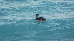 Pelicano, pássaro aquático na praia de Cancun, México fotos de stock royalty free