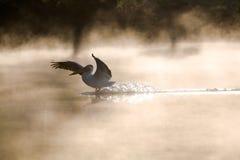 Pelicano para baixo fotografia de stock royalty free