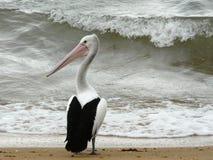Pelicano perto do mar áspero. Imagens de Stock