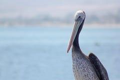 Pelicano peruano Arkivfoton