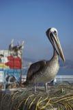 Pelicano peruano no mercado de peixes em Valparaiso, o Chile Fotografia de Stock Royalty Free
