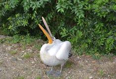 Pelicano perverso Fotos de Stock