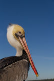 Pelicano Poised imagem de stock