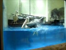 pelicano Ponto-faturado filme