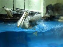 pelicano Ponto-faturado vídeos de arquivo
