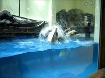 pelicano Ponto-faturado video estoque