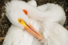 Pelicano Preening Foto de Stock Royalty Free