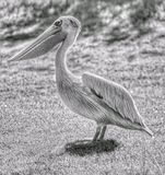 Pelicano preto e branco Imagem de Stock