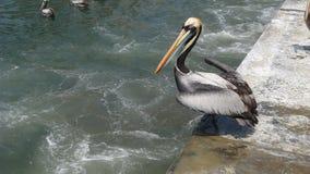 Pelicano pronto para voar no Ancon, Lima imagens de stock