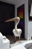 Pelicano que anda através da rua da cidade de Chora Imagens de Stock