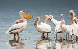 Pelicano que conversa afastado Imagem de Stock