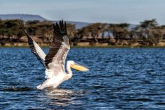 Pelicano que decola para o voo no lago Naivasha fotografia de stock