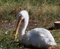 Pelicano que descansa na grama Foto de Stock Royalty Free