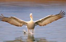 Pelicano que descola da água Fotos de Stock Royalty Free