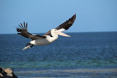 Pelicano que descola em voo Imagens de Stock Royalty Free
