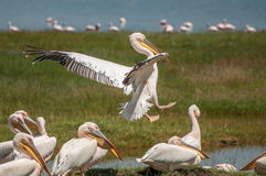 Pelicano que entra para aterrar Imagens de Stock