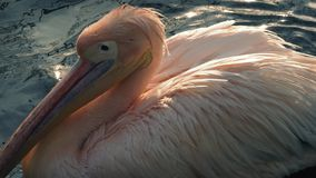 Pelicano que espirra as asas na água vídeos de arquivo