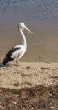 Pelicano que está na praia do rio Imagens de Stock Royalty Free