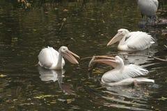 Pelicano que guarda um peixe grande Imagens de Stock