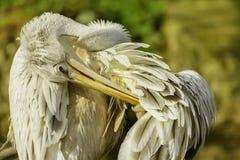 Pelicano que limpa suas penas antes do por do sol imagem de stock