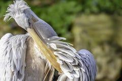 Pelicano que limpa suas penas imagem de stock royalty free