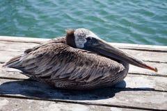 Pelicano que olha Baleful Imagens de Stock Royalty Free