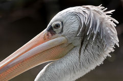 Pelicano que olha para trás em você Fotos de Stock